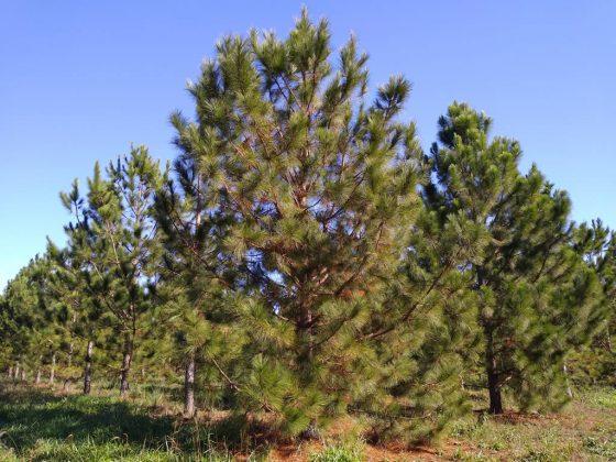 Plantación clonal – Clon 99, con raleo a los 8 años de edad.